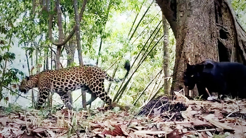 Rare big cats spotted in Thai national park | News by Thaiger