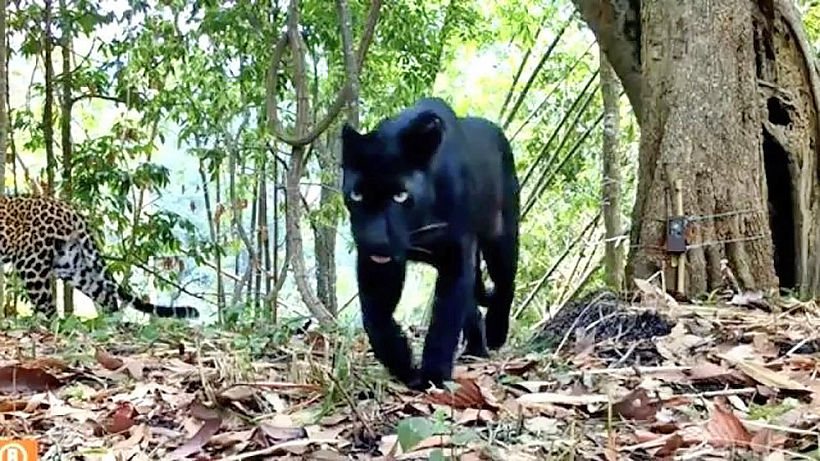 Rare big cats spotted in Thai national park   Thaiger
