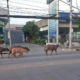 6 escaped buffalo rescued by Buddhist nun | The Thaiger