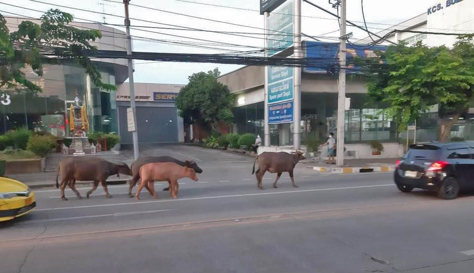 6 escaped buffalo rescued by Buddhist nun | Thaiger