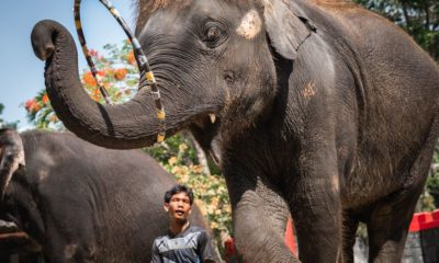 International charity exposes Thailand's abuse of elephants for tourist trade | Thaiger