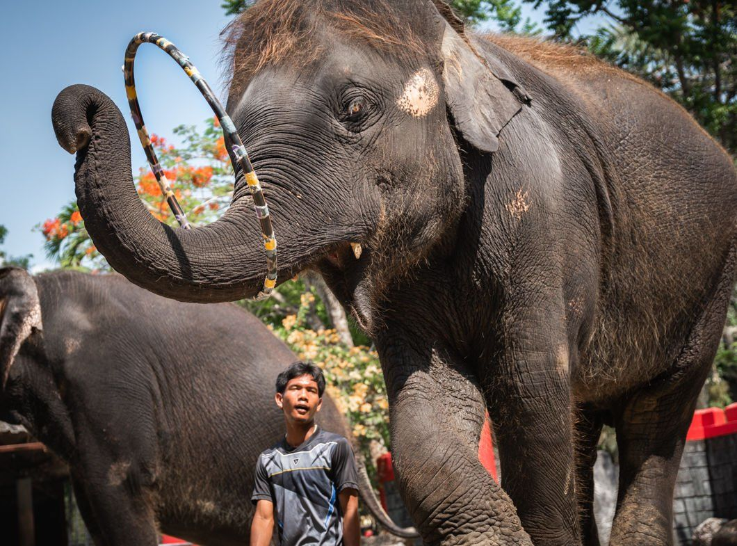 International charity exposes Thailand's abuse of elephants for tourist trade | The Thaiger