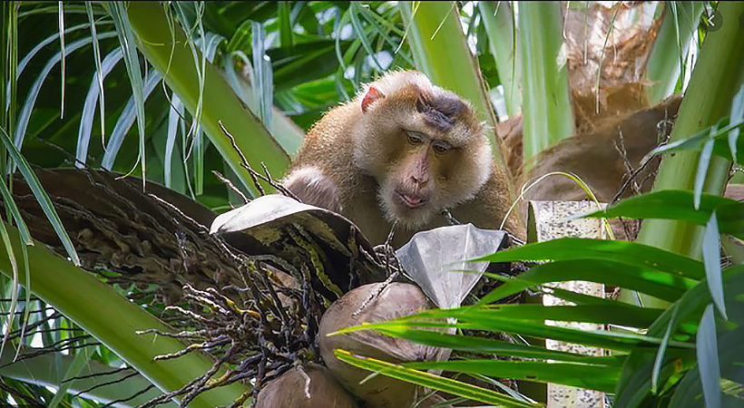 """Government defends """"monkey business"""" after PETA call for boycott on Thai coconut products 