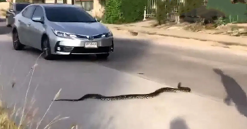 Rescuers remove 4 metre python from Chon Buri car | The Thaiger