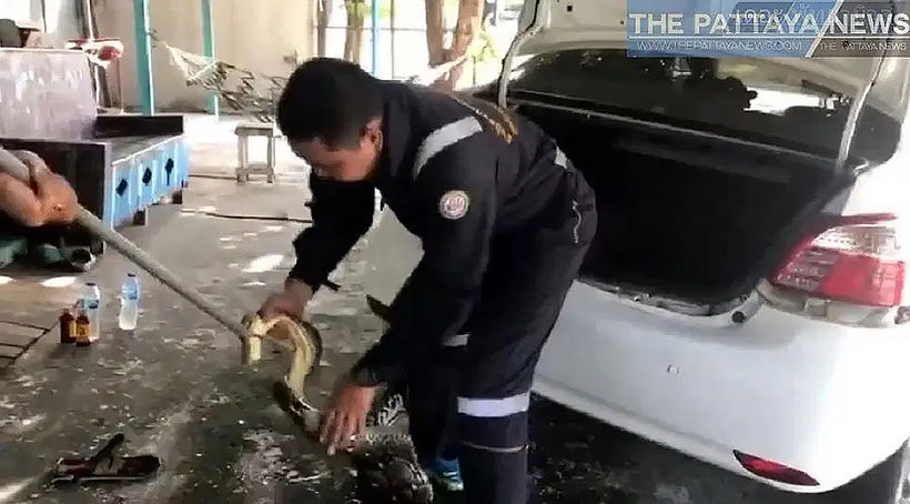 Rescuers remove 4 metre python from Chon Buri car | News by Thaiger