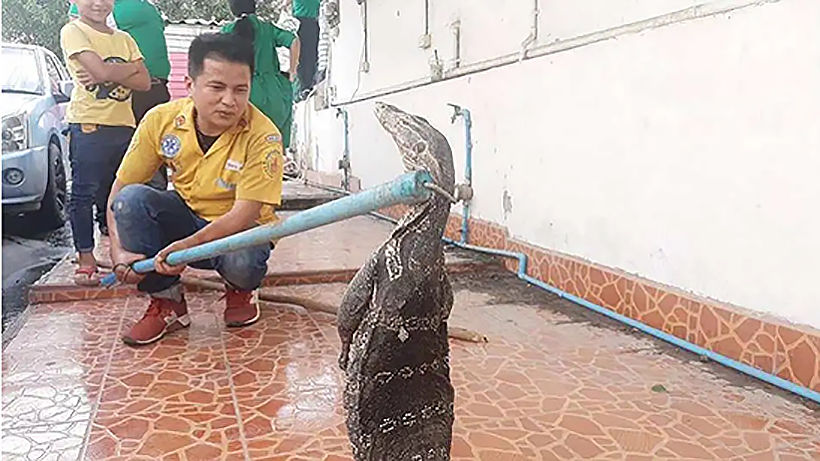 Huge monitor lizard pulled from Si Racha car | News by Thaiger