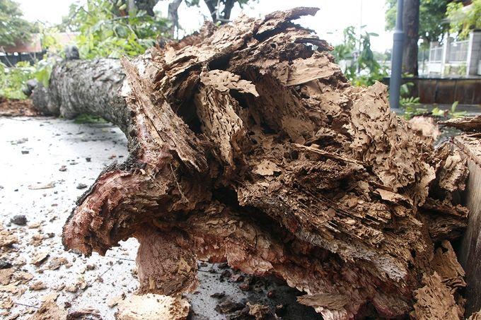 Thừa Thiên - Huế: Mưa giông quật đổ cây cổ thụ   News by Thaiger