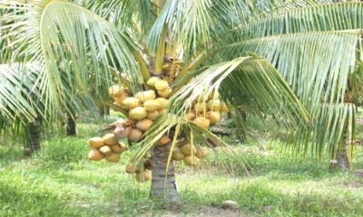 Thai agriculture minister to take a delegation on a coconut harvesting tour | The Thaiger