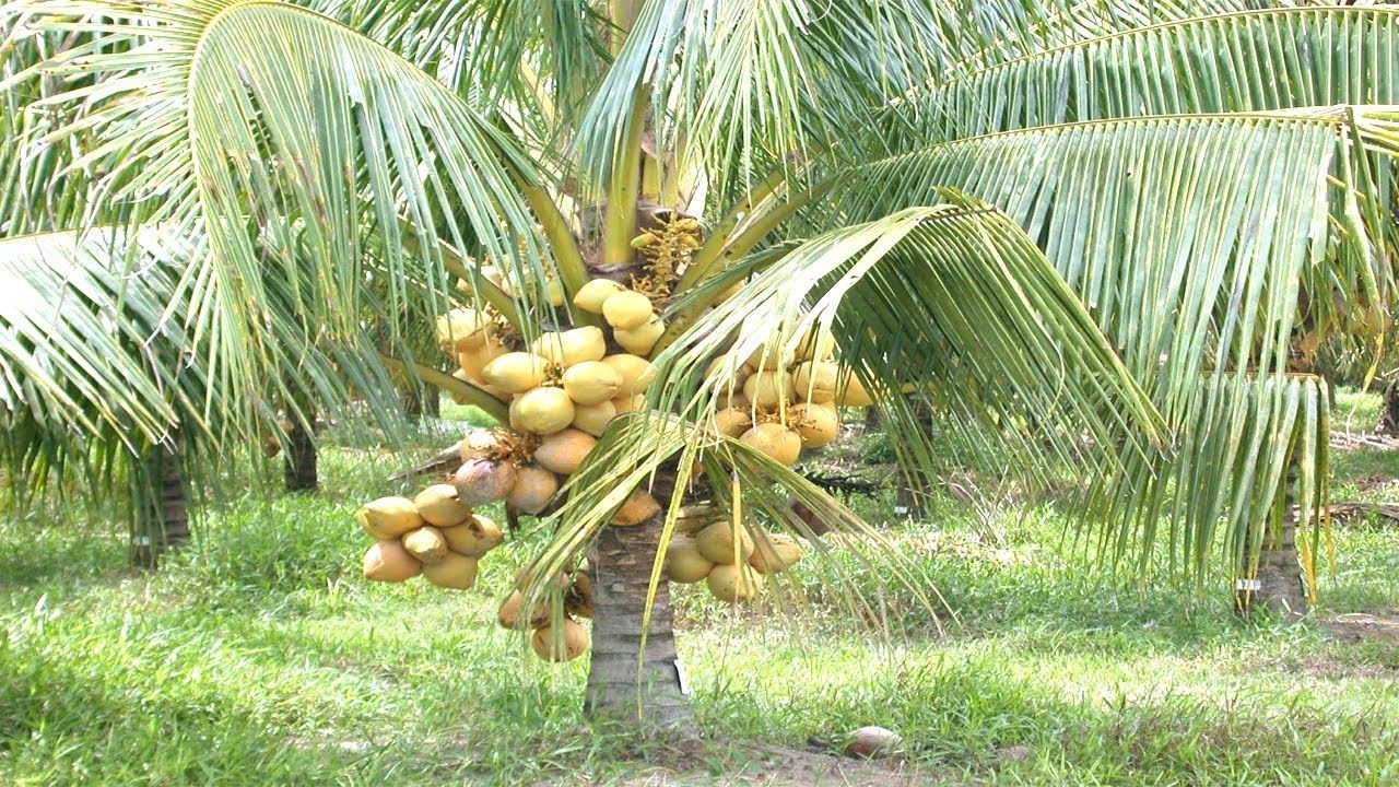 Thai agriculture minister to take a delegation on a coconut harvesting tour   The Thaiger