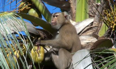 Major international retailers banning monkey-picked coconuts – VIDEO | The Thaiger