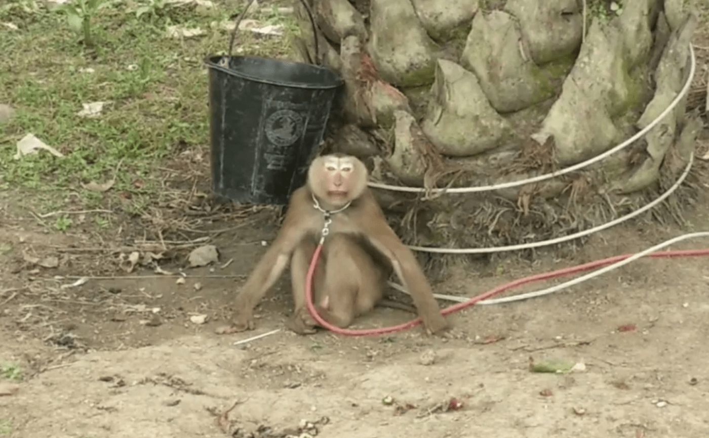 PETA reveals 'abused' monkeys used to pick coconuts in Thailand | Thaiger