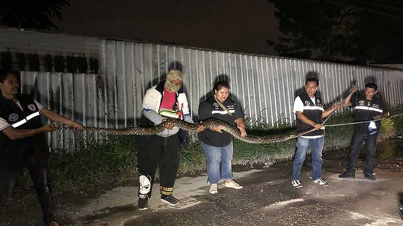 Nonthaburi man says pythons ate 20 of his cats | News by Thaiger