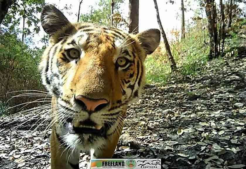 Camera captures rare footage of tiger at Kanchanaburi national park