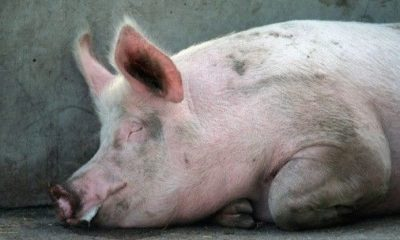 Northern Thailand pigs on lockdown after virus outbreak | Thaiger