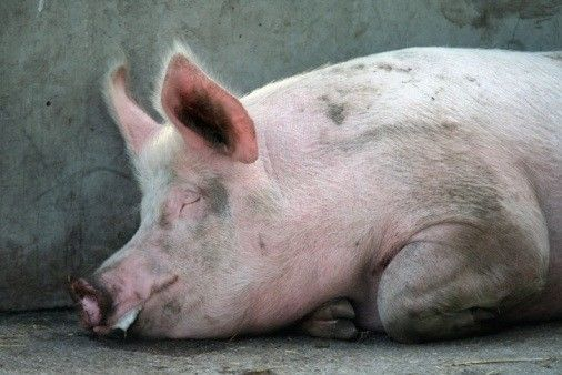 Northern Thailand pigs on lockdown after virus outbreak   Thaiger