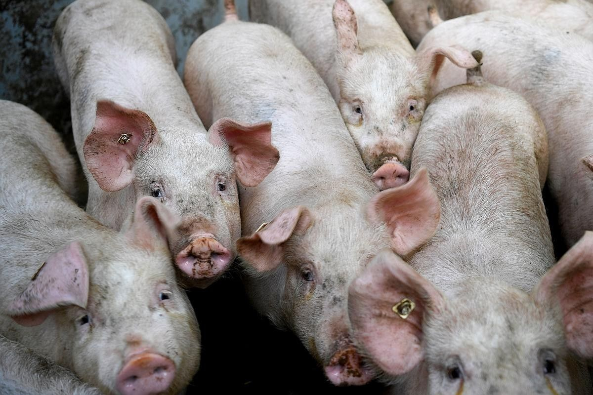 More than 1,000 pigs killed in effort to contain spread of virus in Lampang | Thaiger