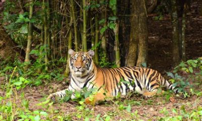 Hunt for wild tiger sighted at maize plantation in northern Thailand   Thaiger