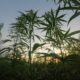 Buri Ram province chosen as first site for medical marijuana harvesting | The Thaiger