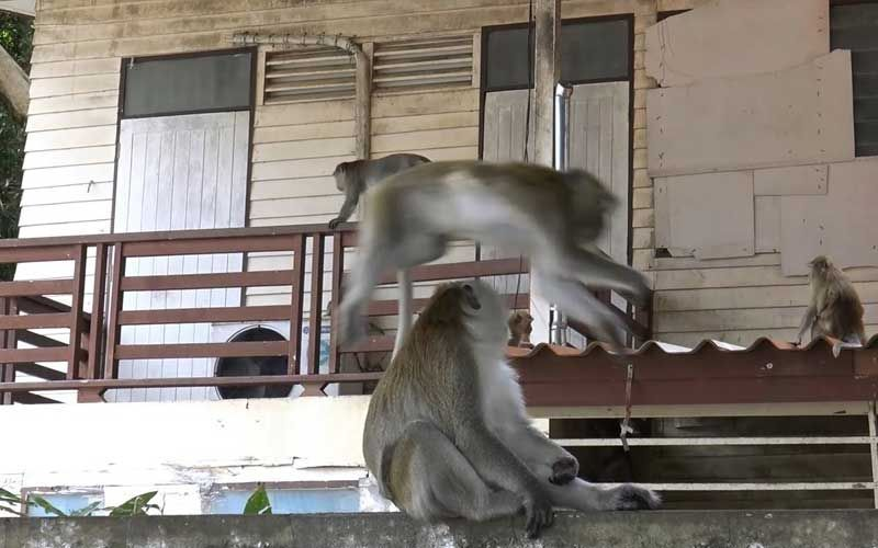 Monkeys take over Songkhla home while family away for holiday | Thaiger
