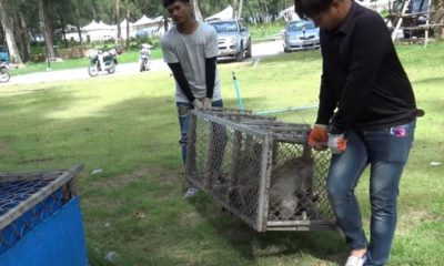 Monkeys castrated after causing chaos in Songkhla | The Thaiger