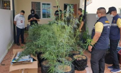 Man arrested for growing 108 cannabis plants in Samut Prakan | The Thaiger