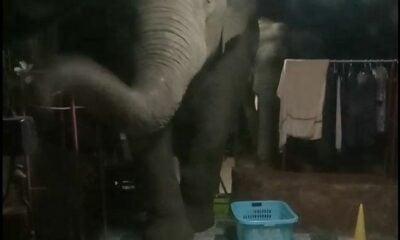 Elephants chase motorbike driver to Chon Buri home | Thaiger