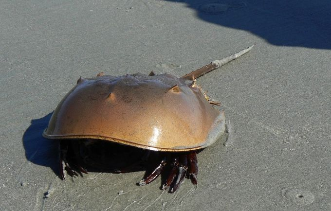Phuket woman dies shortly after eating mangrove horseshoe crab   Thaiger