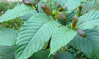 House votes to remove kratom from Thailand's narcotics list | Thaiger