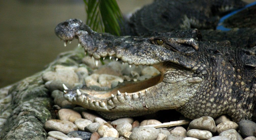 Thai man in Surin greeted by crocodile in his toilet | The Thaiger
