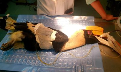 Protected hornbill dies from gunshot wound, 2 suspects in police custody | The Thaiger