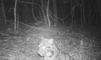 Rare sighting of an endangered clouded leopard at Isaan mountain range   Thaiger