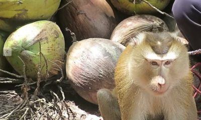 US grocers cut ties with Thai coconut milk company after PETA reveals monkey labour   Thaiger