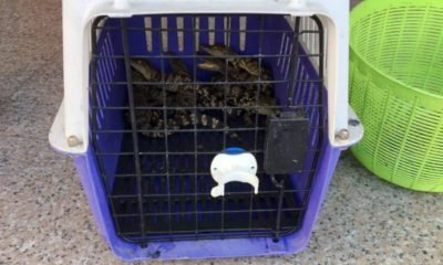 Man arrested after police find 8 crocodiles in a Pathum Thani apartment | The Thaiger