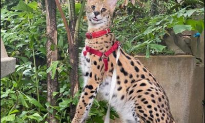 Pet wildcat lost in Phuket, Russian family offers 50,000 baht reward   The Thaiger