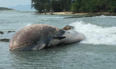 Dead whale found washed up on Koh Samui beach | Thaiger