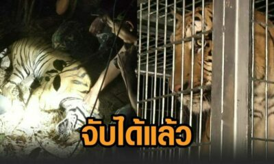 Siberian tiger re-captured after escaping from cage in western Thailand – VIDEO | Thaiger