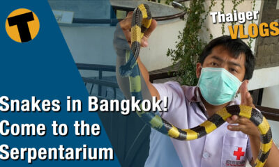 Snakes in Bangkok. Get up close and personal… if you dare | VIDEO | The Thaiger