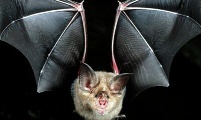Scientists say Thailand bats could spread similar coronaviruses | The Thaiger