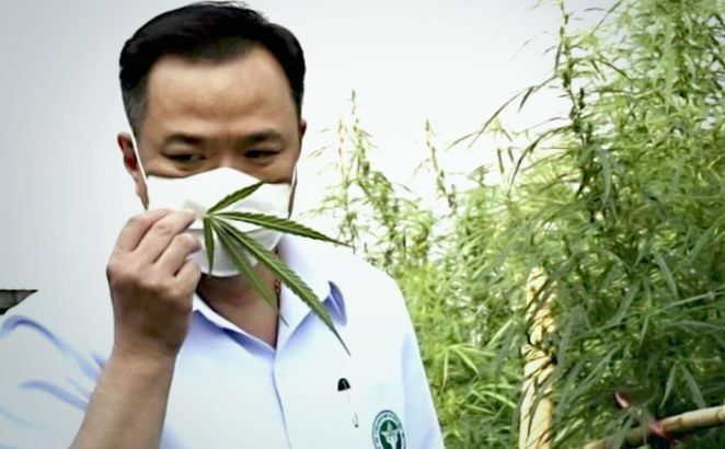 Thai Public Health Ministry starts cannabis cultivation project in Buri Ram | The Thaiger