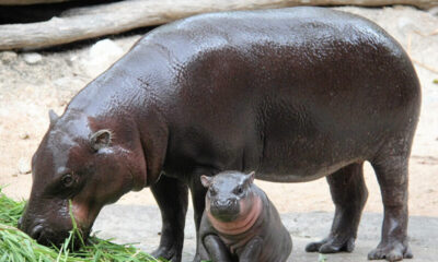 Chon Buri zoo invites people to vote on baby hippo's name – VIDEO | The Thaiger