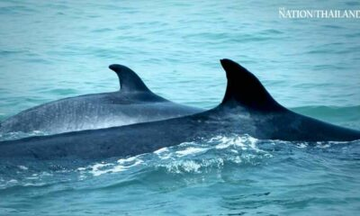 Bryde's whale in Gulf of Thailand gives birth to third baby | The Thaiger