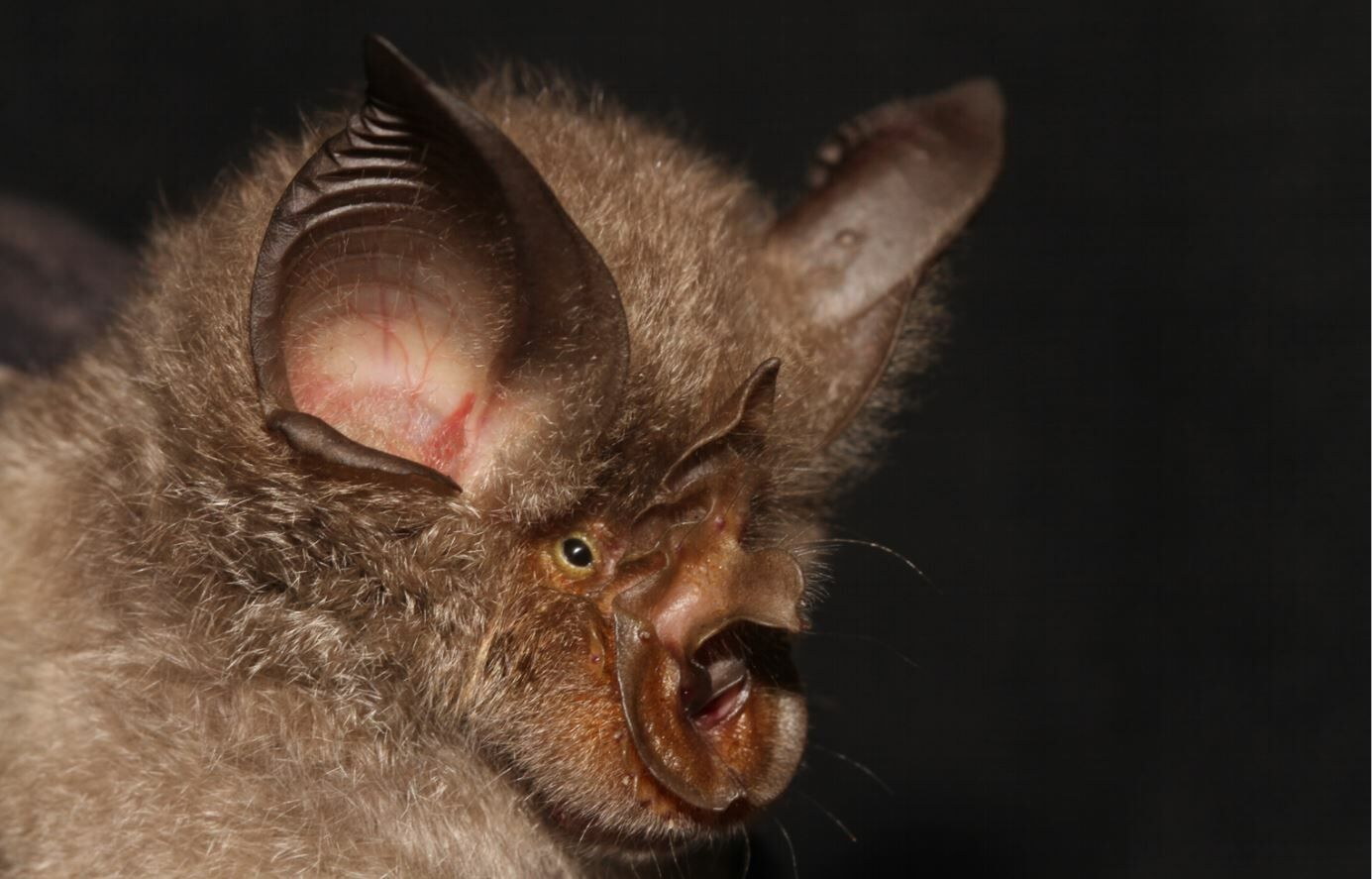 Researchers claim Thailand's bats not responsible for Covid pandemic | The Thaiger