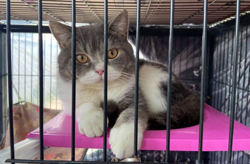 Pedigree cats seized in drugs raid will be auctioned off | Thaiger