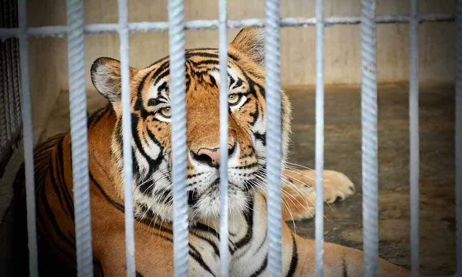 Thai tiger park faces permanent closure amid wildlife smuggling allegations | Thaiger