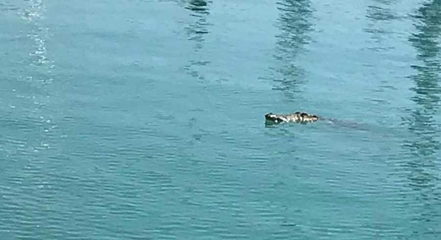 Phuket officials warn public of crocodile spotted near Chalong pier | Thaiger