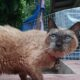 Oldest living cat in the world said to be 34 year old cat in Thailand | Thaiger