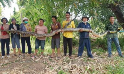 Massive 6-metre-long python caught in Chon Buri | Thaiger