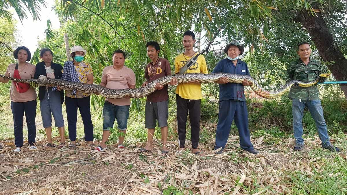 Massive 6-metre-long python caught in Chon Buri | The Thaiger