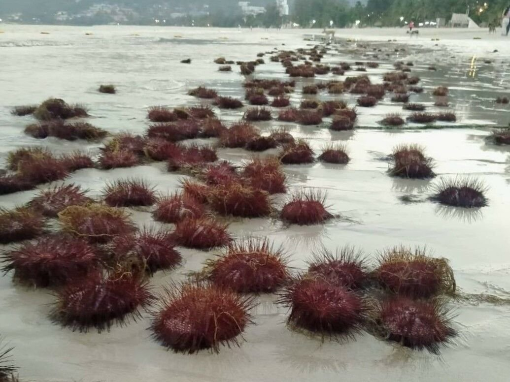 Watch your step, hundreds of red sea urchins wash up on Patong Beach | Thaiger