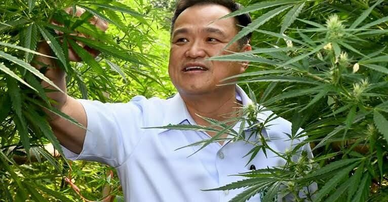 Thailand government promotes cannabis as a cash crop at Buriram festival | The Thaiger